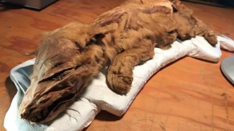 En mumifierad vargvalp har upptäckts i Kanada