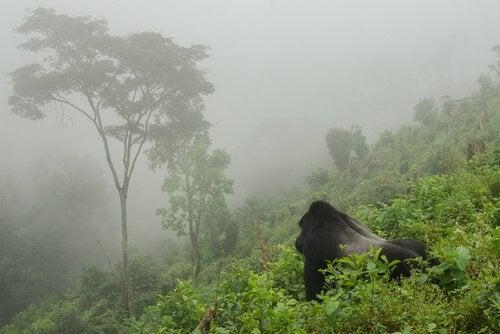 Populationen av bergsgorillor har ökat till 1,000