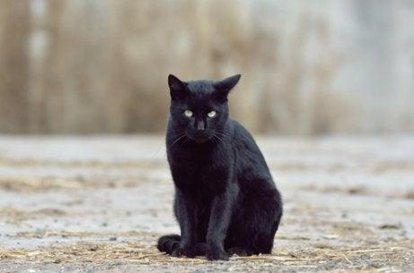 Svart katt utomhus