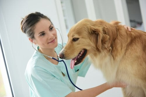 Vidgad matstrupe hos hundar: symptom & behandling