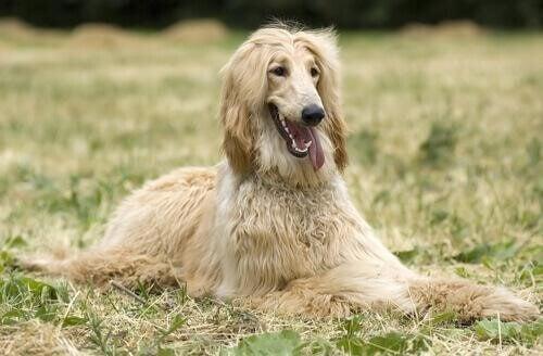 Afghanhund i gräset.