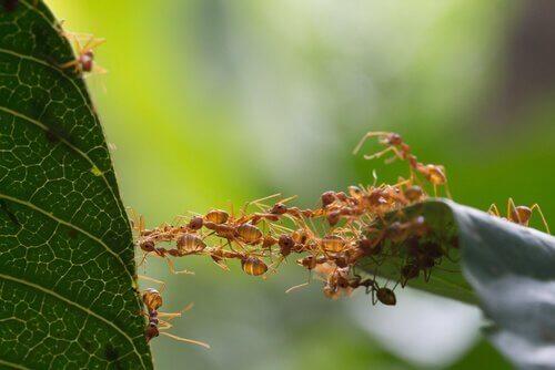 Myror bygger en bro
