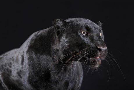 En svart panter