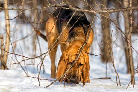 Blodhund som luktar på snö.
