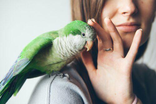 Avmaskning för sällskapsfåglar: hur det går till