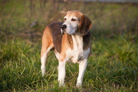 Engelsk foxhound.