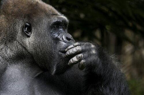 Gorillan Koko tänker.