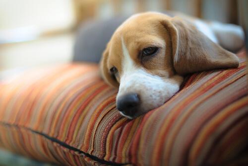 Hund som ligger i soffan.