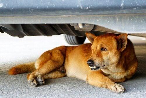 Hund som ligger under en bil.