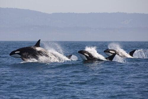 Hur delfiner anar när späckhuggare är i närheten