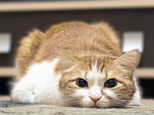 kan katter ha feber
