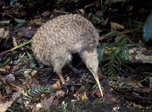 Kiwifågel som går i skogen.