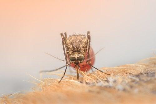 zikaviruset hos mygga