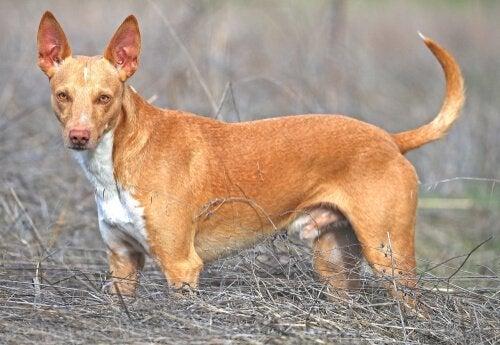 Podenco ibicenco: en hund skapad för jakt