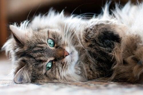 Siberisk katt som ligger ner.