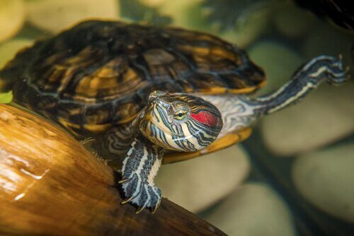 Varför vattensköldpaddor är svåra husdjur