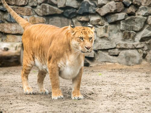 Tigon i djurpark.