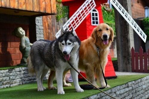 Två hundar i koppel.