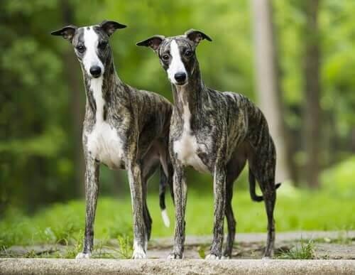 Två wippethundar som står bredvid varandra.