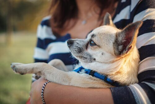 Chihuahua i famnen