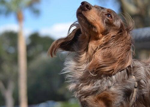 Hund med hårsvall