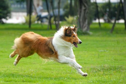 Springande collie