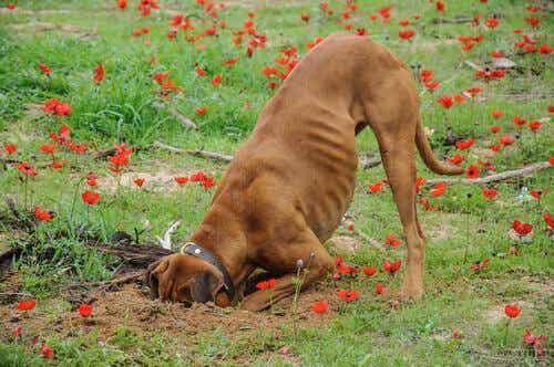 Vad gör du om din hund gräver upp din trädgård?