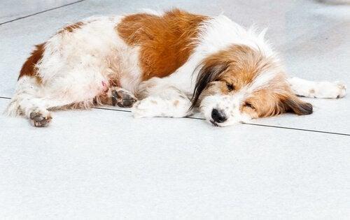 Hund som har kollapsat på golvet.