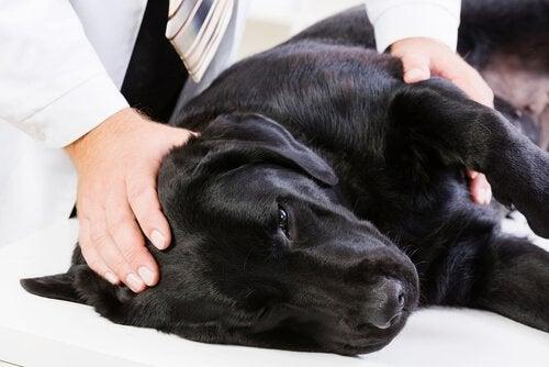 Hund som ligger ner hos veterinären.