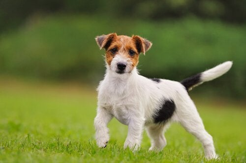 Hund som springer på gräset.