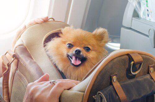 Pomeranian i handväska.