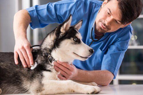 Veterinär som undersöker hund.