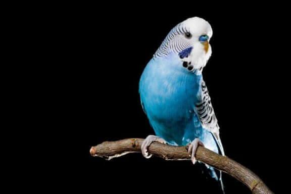 Blå parakit