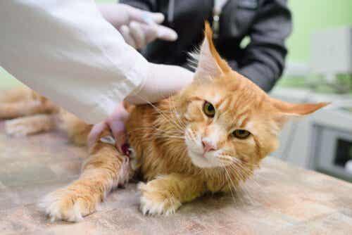 De sjukdomar som överförs av katter är allvarliga