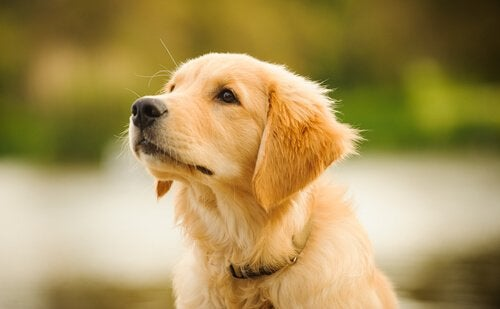 Golden retriever-valp