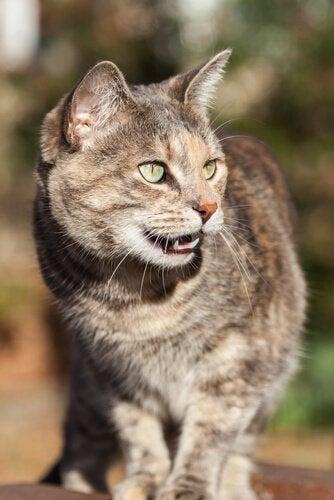Katt med öppen mun