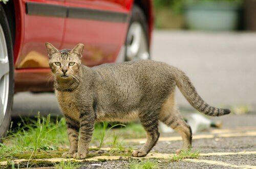 Katt vid bil