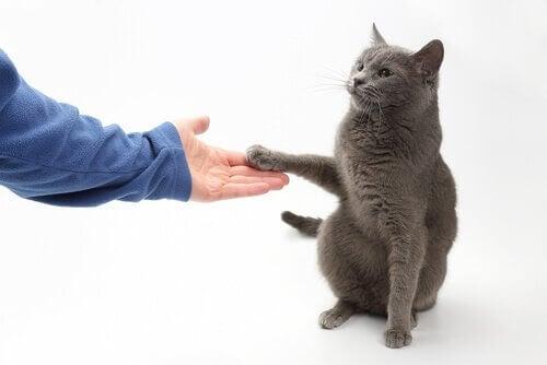 Är det möjligt att lära en katt att skaka tass?