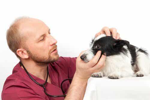 Tips för att rengöra din hunds ögon på ett bra sätt