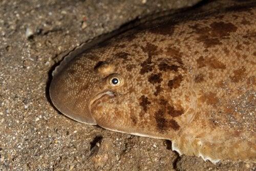 Två vanliga typer av plattfisk: fyrfläckig var och sjötunga
