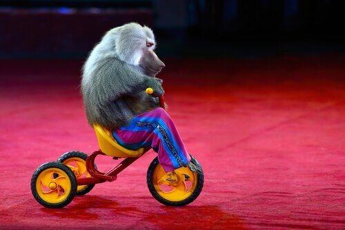 Djurplågeri: en apa med kläder är inte något roligt