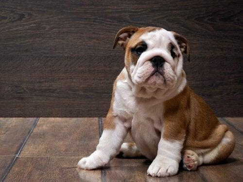 Engelsk bulldogg som sitter ner.