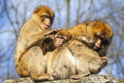 Familj med apor.