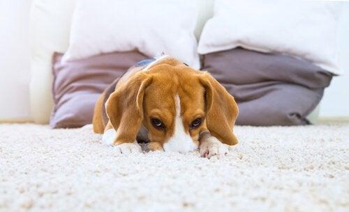 Hund med nos i mattan.