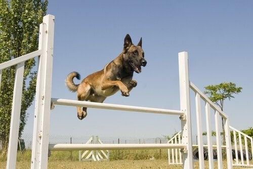 Hund som hoppar över ett hinder.