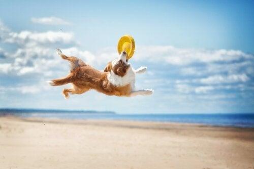 Hund som leker vid stranden.