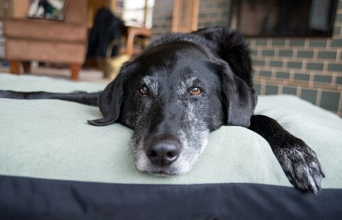 Hund som ligger på filt.