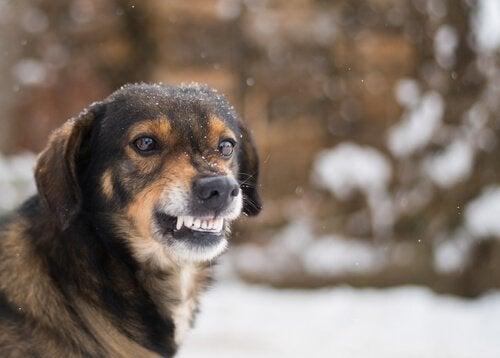 Hund som morrar utomhus.