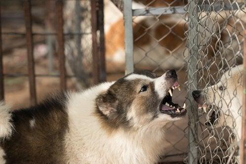 Hund som skäller vid stängsel.