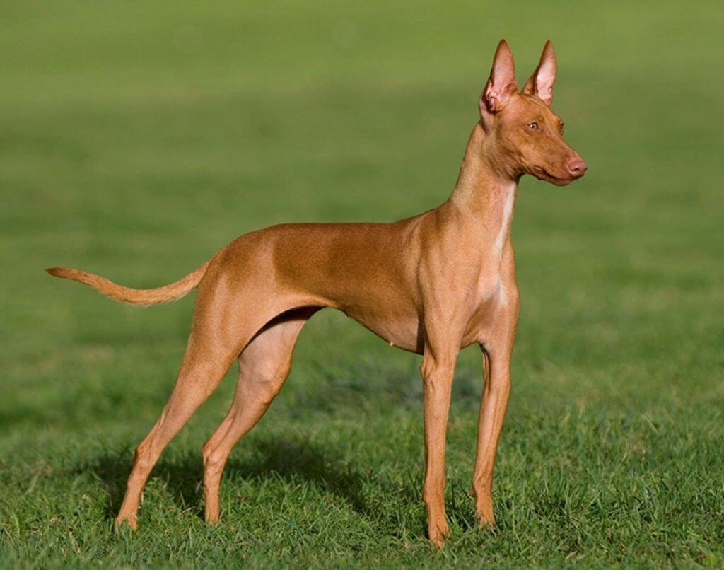 Hund som spetsar öronen.